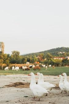 Nobel geese walking in pairs