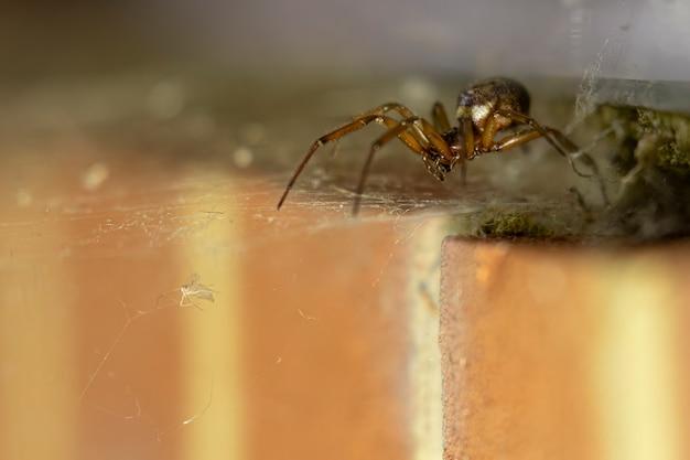 거미줄에 갇힌 먹이를 쫓는 고귀한 거짓 과부 거미
