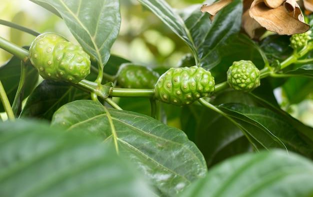 Noni fruit on the tree, (morinda citrifolia)