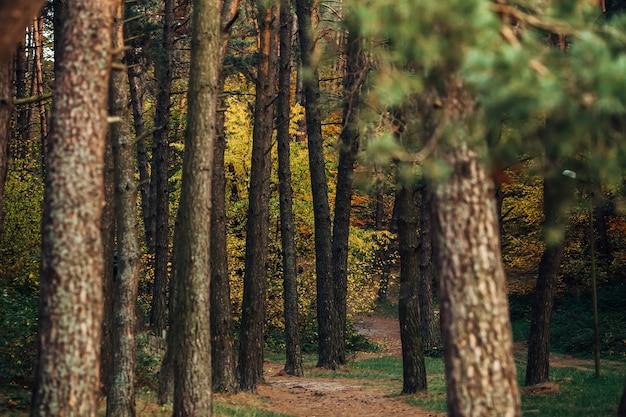 夕方の光の中の北欧の松林雨の日の霧深い松林