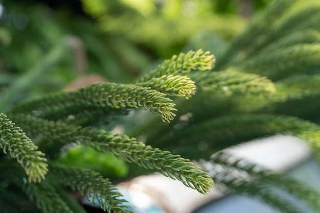Norfolk island pine (araucaria heterophylla) green leaves and blurred nature, one type of ornamental pine that is commonly grown today