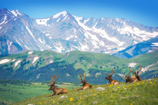 North american elks