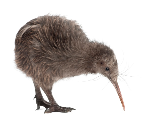 North island brown kiwi, apteryx mantelli, 5 months old, standing against white surface