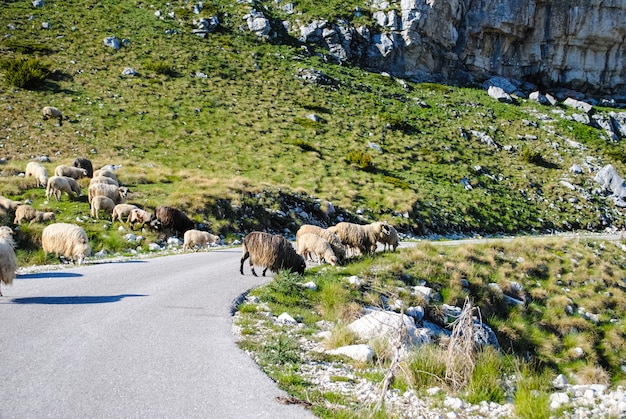 North of montenegro, animals on the road