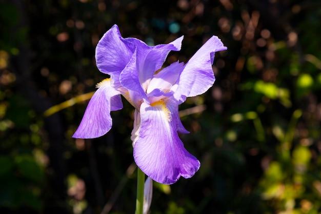 Northern blue flag flower growing amongst the grass. purple iris flower a green background. blooming iris versicolor close up.