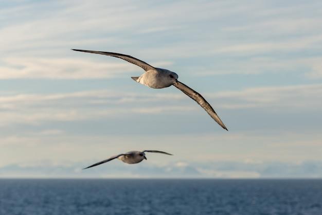 Северный фульмар летит над арктическим морем на шпицбергене.