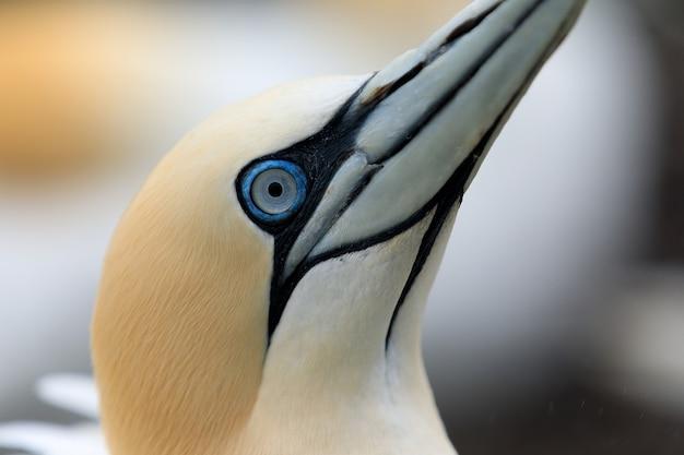 Northern gannet birds colony, close up photo of gannet, bass rock, scotland