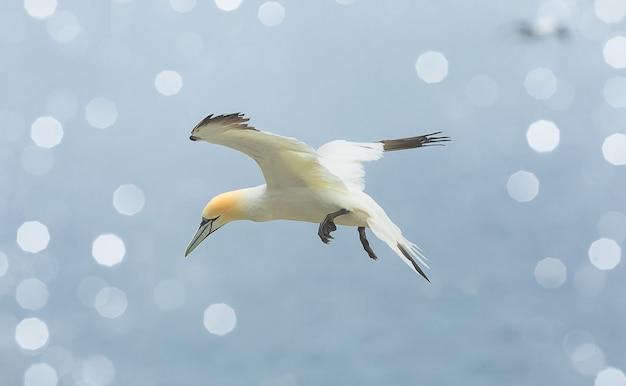 Северная олуша летит над островом басс-рок, шотландия, северное море.