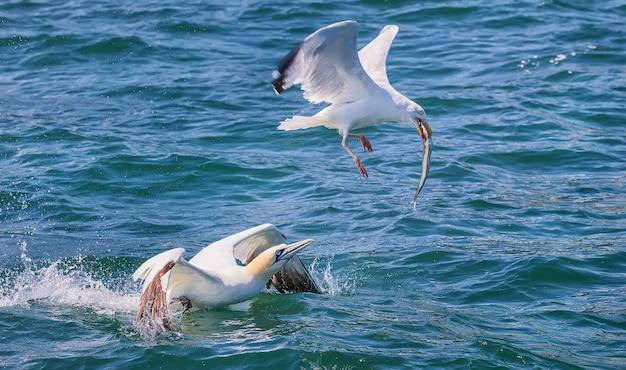 Северная олуша пытается отобрать у чайки рыбу. северное море. англия, великобритания
