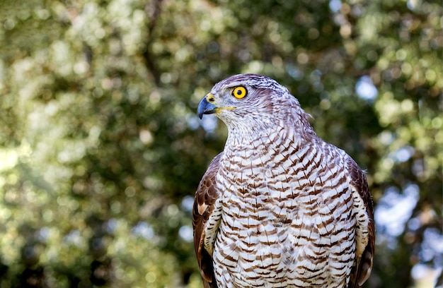 Northern goshawk with the forest background
