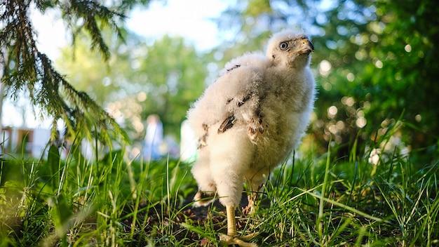 Northern hawk goshawk chick in nest