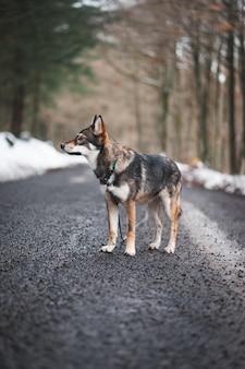 Cane inuit del nord in mezzo alla strada