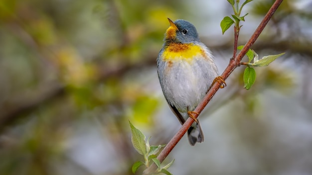 A northern parula perched on a tree branch