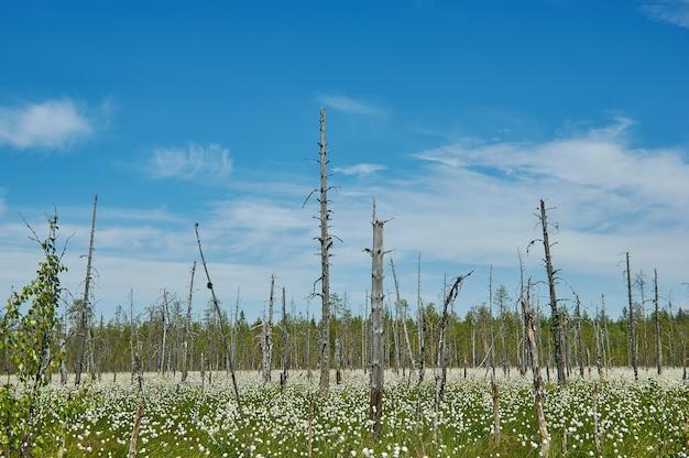 Северные болота карелии, цветет пушица белая.
