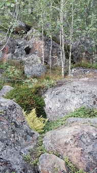 Northern tundra forest with trees and rocks