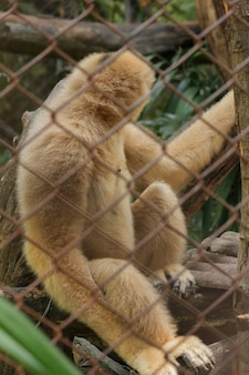 Northern white-cheeked gibbon in a cage.