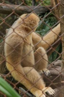 감 금 소에있는 북부 흰 뺨 긴팔 원숭이.