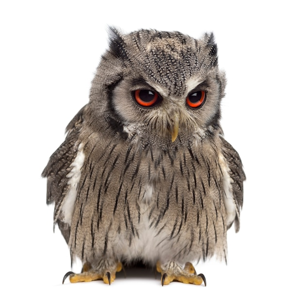 Northern white-faced owl - ptilopsis leucotis (1 year old) in front of a white surface