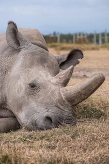 Rinoceronte bianco settentrionale su un campo catturato a ol pejeta, in kenya