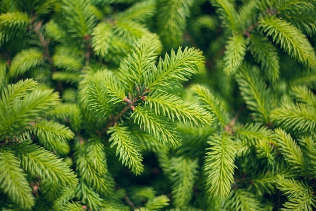 ノルウェートウヒ-piceaabiesまたはヨーロッパトウヒの新しい針。抽象的な自然な針葉樹の背景。セレクティブフォーカスをぼかします。