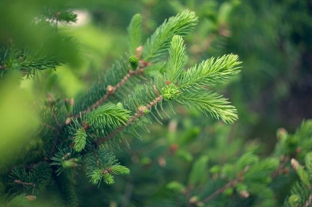 Ель обыкновенная - picea abies или европейская ель новая. естественная фоновая текстура. размытие селективного фокуса.