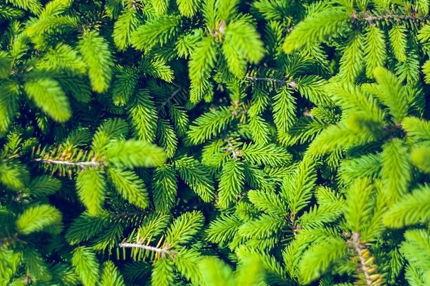 ノルウェートウヒ-piceaabiesまたはヨーロッパトウヒの新しい針。自然な針葉樹の背景のテクスチャ。選択的なフォーカスブラー。
