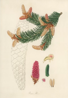 Norway spruce (pinus abies) illustration from medical botany (1836)