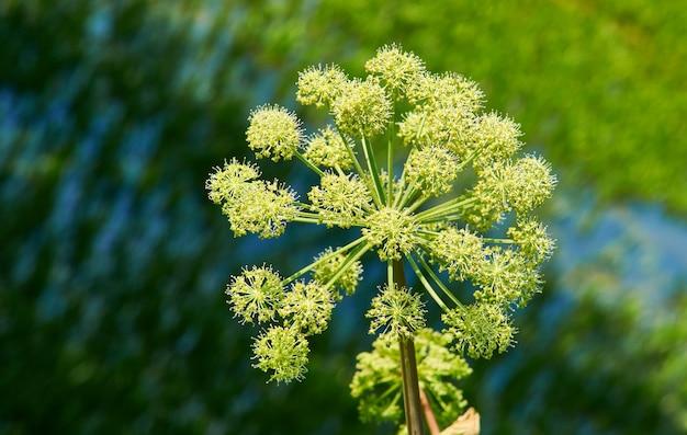 노르웨이 안젤리카, angelica archangelica, apiaceae 계통의 2년생 식물로, 달콤한 향이 나는 식용 줄기와 뿌리를 위해 재배되는 아종입니다.