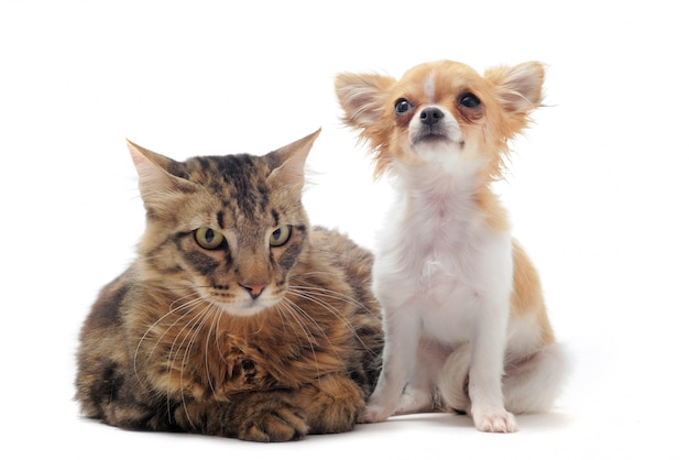 Norwegian cat and chihuahua