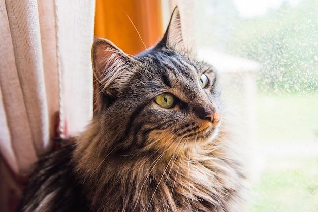 Норвежская кошка сидит на подоконнике и смотрит в окно, наслаждаясь солнцем