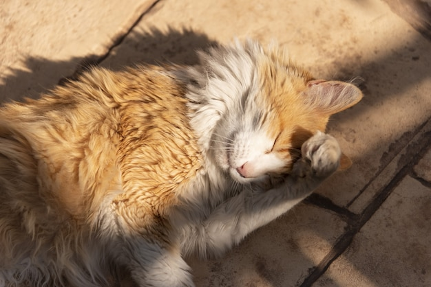 Норвежская лесная кошка груминг на солнце