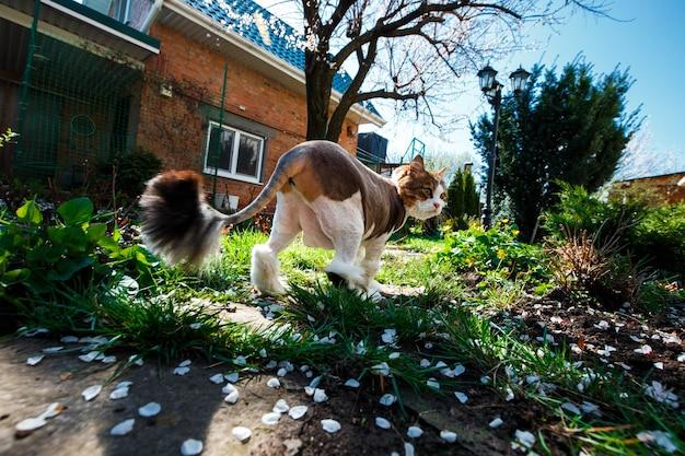 Норвежская лесная кошка гуляет по двору дома в саду, который покрыт лепестками цветущего абрикоса.