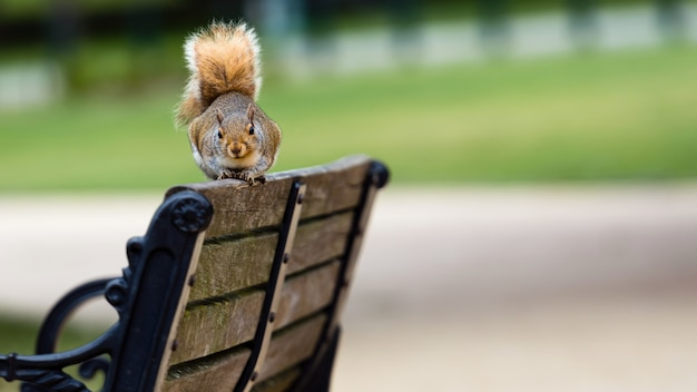Nosy brown squirrel sitting on the edge of athe bench