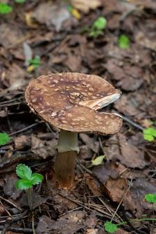 Несъедобный гриб amanita rubescens в лесу