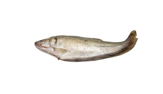 Notopterus featherback 물고기는 격리 된 흰색 배경에 닫습니다