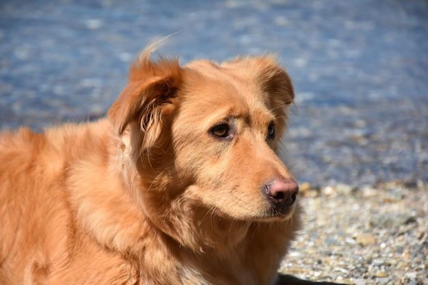 ノバスコシア州のアヒルの通行料レトリーバー犬がビーチで休んでいます。