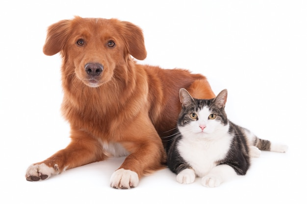 Nova scotia duck tolling retriever and a domestic cat sitting side by side. isolated on white.