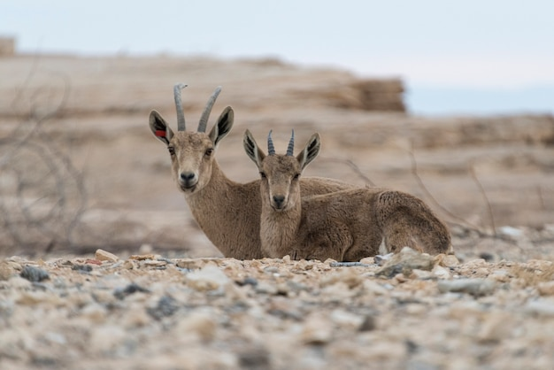 Nubian ibex (capra nubiana) in desert, makhtesh ramon, negev desert, israel