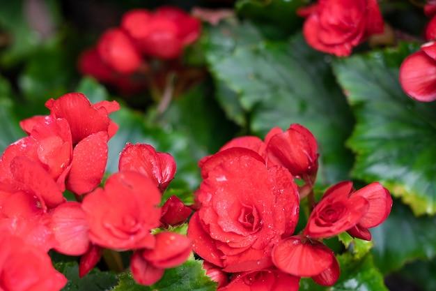 결절 베고니아의 수많은 밝은 꽃