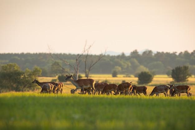 Многочисленное стадо оленей оленей пасется на свежей зеленой траве весной на закате