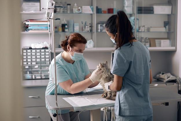 Медсестра держит пушистого кота, пока ветеринар осматривает животное в больнице