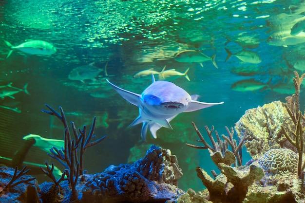 Nurse shark or ginglymostoma cirratum is an elasmobranch fish in  family ginglymostomatidae.