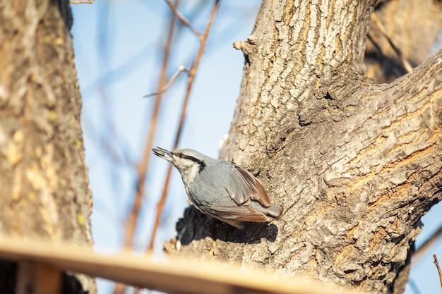 Поползень в деревянной кормушке для птиц с семечками в клюве