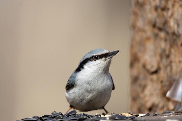 Nuthatch bird on a branch