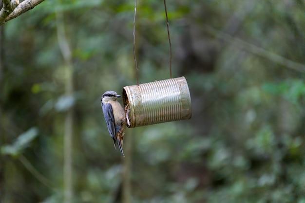 오래된 깡통 새 모이통에서 씨앗을 찾아 헤매는 Nuthatch 프리미엄 사진