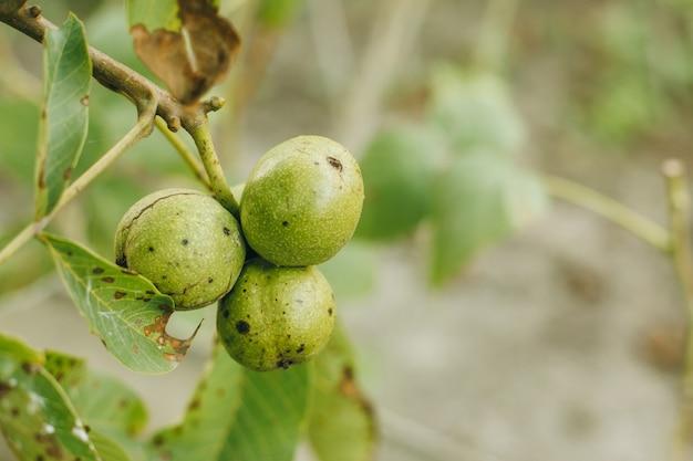 木の上のナッツ