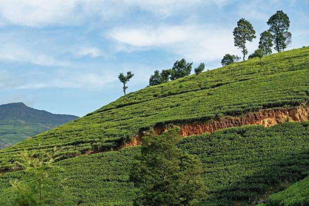 Nuwara eliya tea plantations green field mountain landscape.