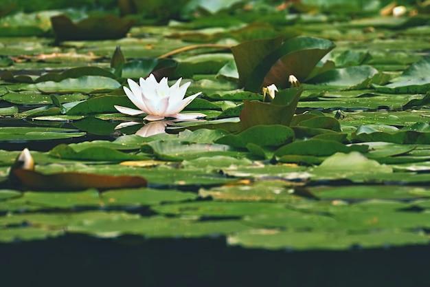 美しい咲く花 - 池の上に白い水のユリ。 (nymphaea alba)自然の色がぼやけた背景。