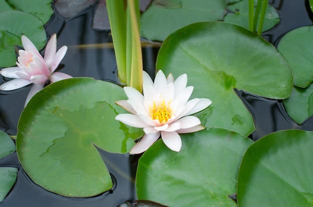 川のスイレンnymphaea tetragona