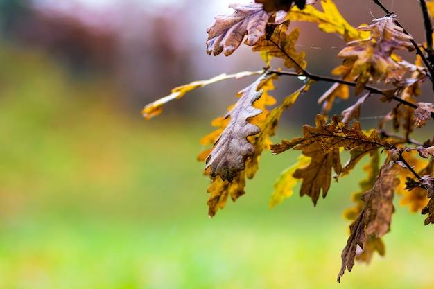 秋に黄色の葉の小さなoの木